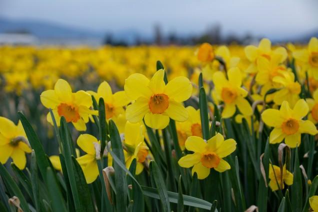 DaffodilInsta-1